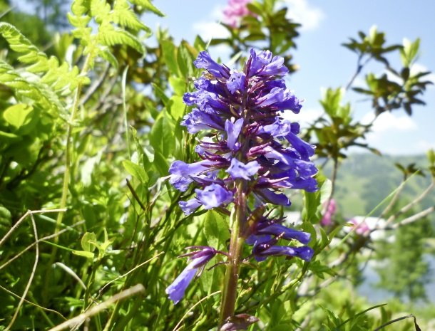 nassfeld wulfenia bloem.jpg