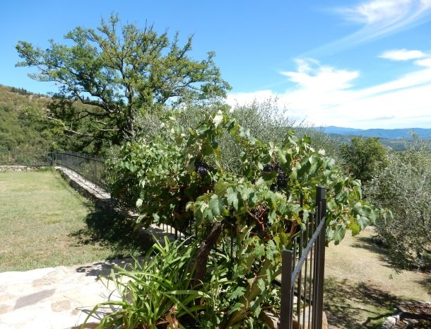 casale-le-pergole-pontassieve-olijven-druiven.jpg