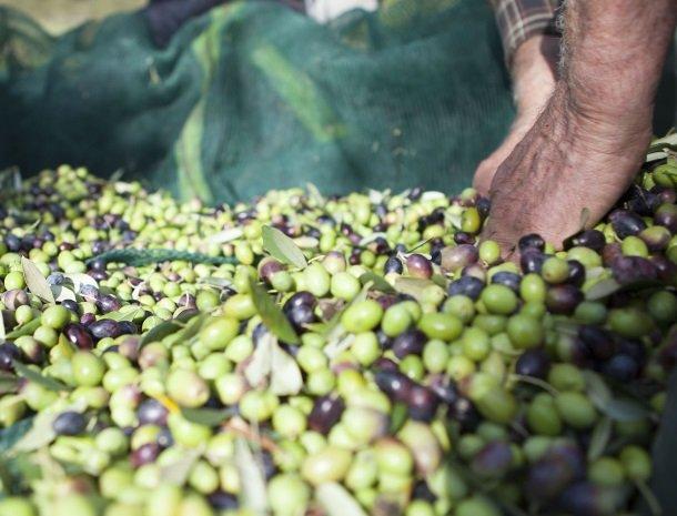 casale-le-pergole-pontassieve-olijven.jpg