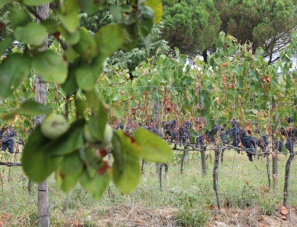 podere-alberese-asciano-toscane-druiven.jpg