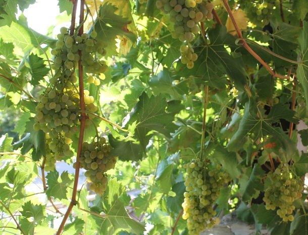 fattoria-marchetti-marche-druiven.jpg