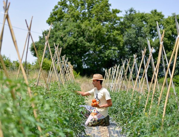 fattoria-marchetti-marche-tomatenverbouw.jpg