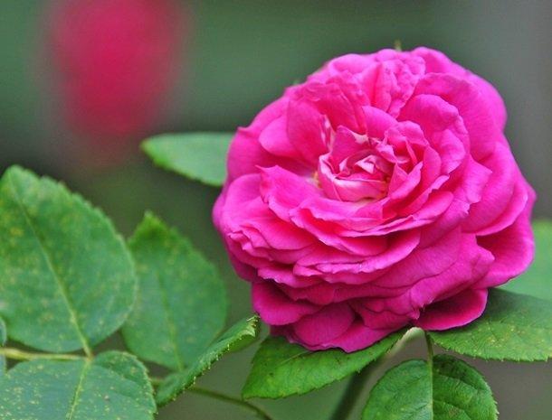 ferners-rosenhof-murau-roze-roos.jpg