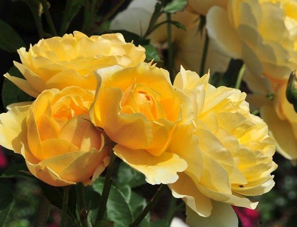 ferners-rosenhof-murau-gele-bloemen.jpg