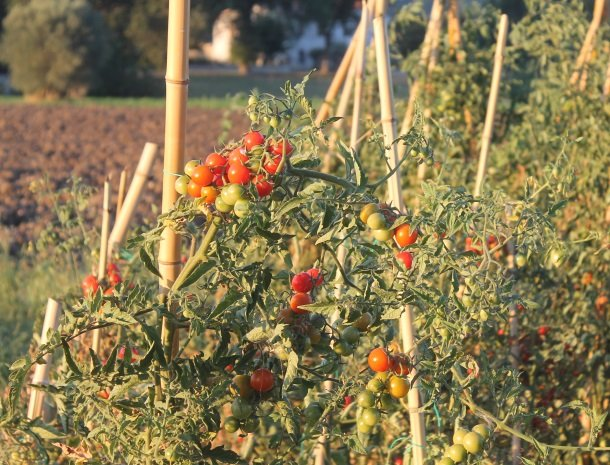 casale-don-dome-marche-tomaten.jpg