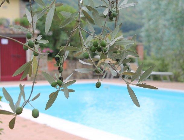 agriturismo santo stefano-castiglion-fiorentino-olijf.jpg