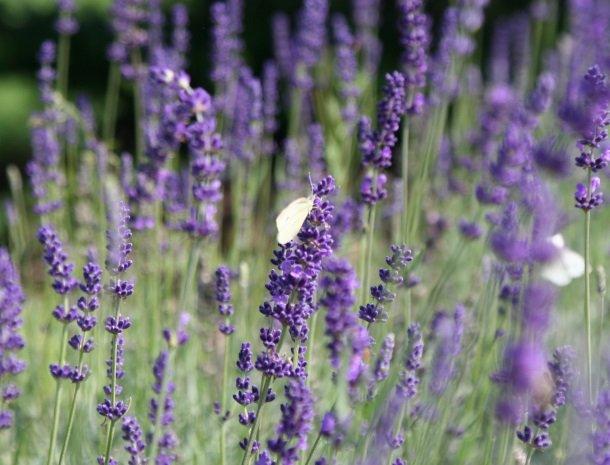 zirbenland-steiermark-lavendel.jpg