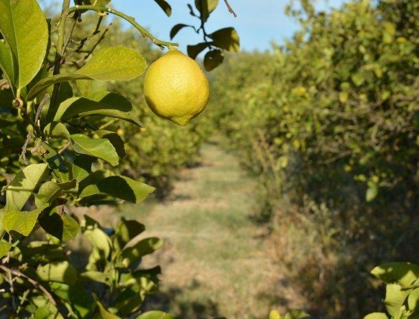 agriturismo le zagare di vendicari citroen.jpg