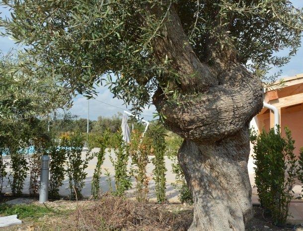 agriturismo le zagare di vendicari olijfboom.jpg