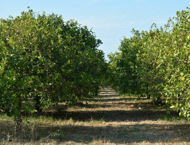 agriturismo le zagare di vendicari citroenbomen.jpg