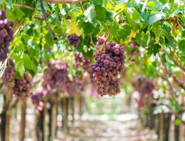 wijngaarden sicilie.jpg