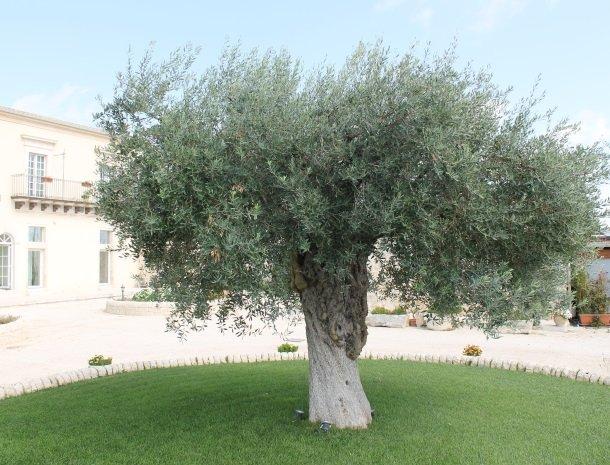 casale1821-ragusa-olijfboom.jpg