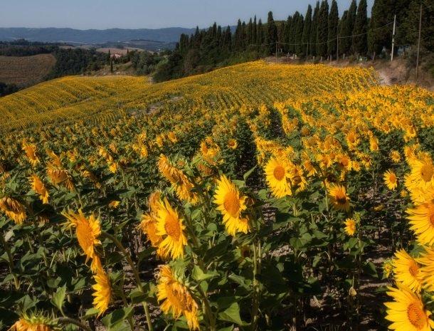 agriturismo-pieve-sprenna-zonnebloemen.jpg