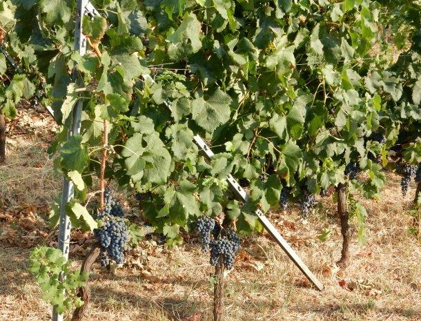 tenuta-scilio-wijngaarden-druiven.jpg