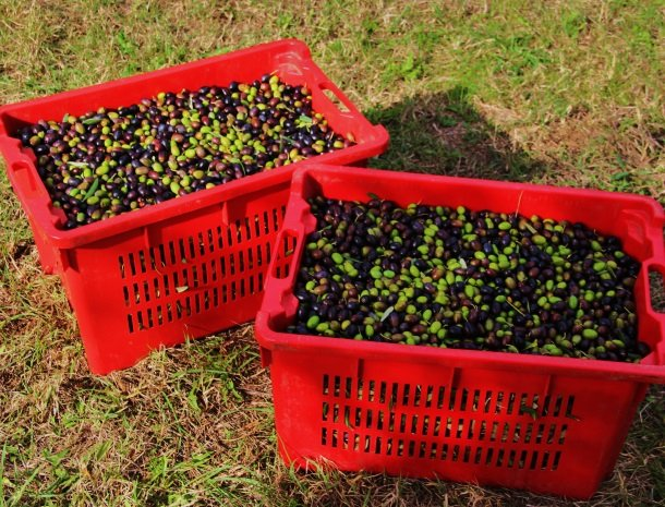 agrisantanna-appartementen-toscane-olijven.jpg