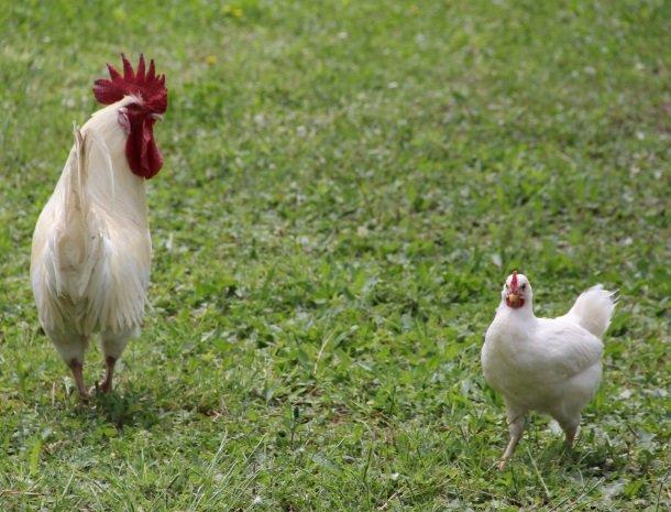 agrisantanna-appartementen-toscane-kippen.jpg