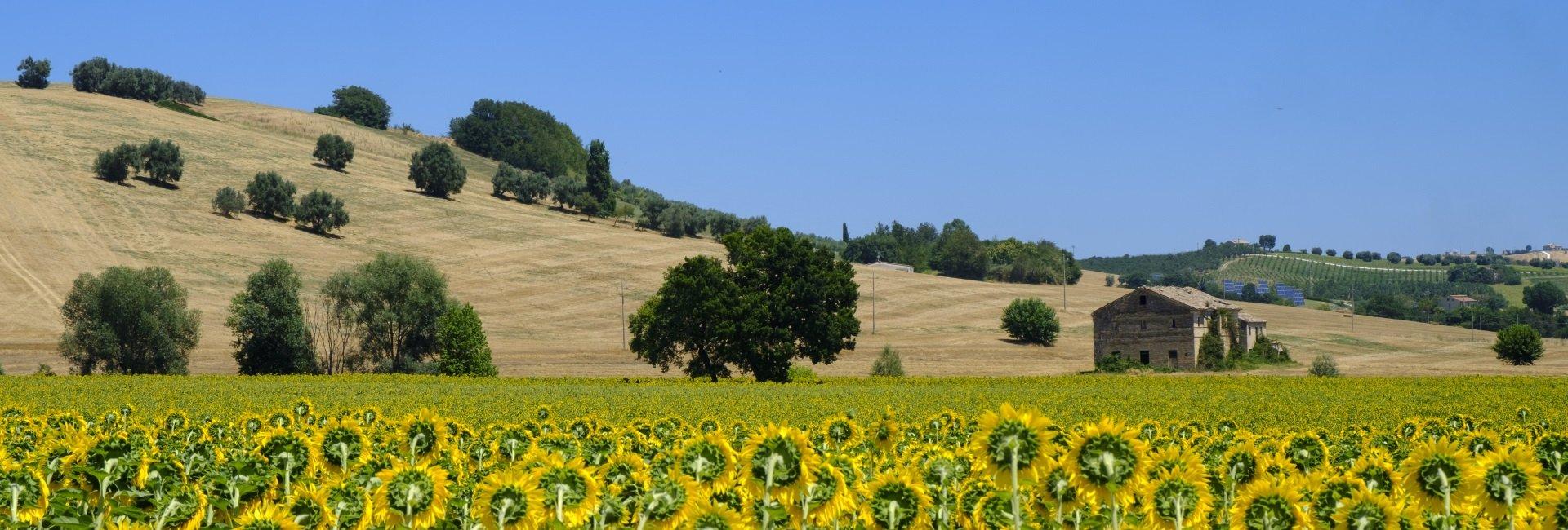 marche-zonnebloemen-italie.jpg
