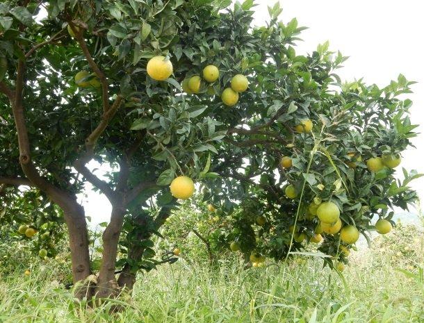 tenuta-edone-sicilie-agriturismo-citrusbomen.jpg