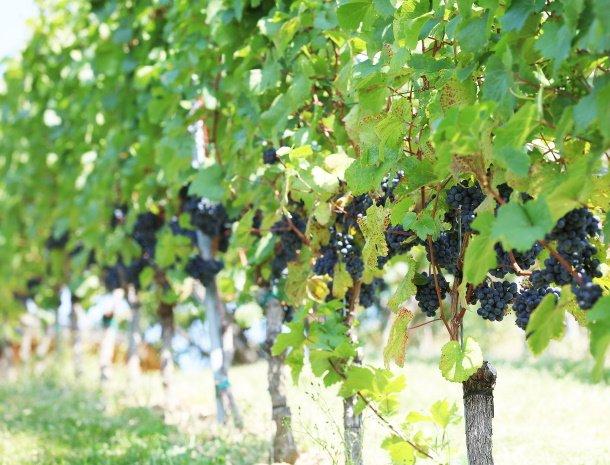 weingut-dreisiebner-steiermark-rode-druiven.jpg