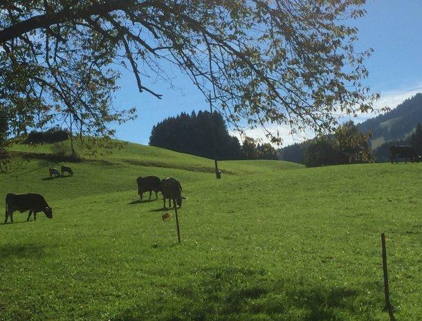 am-hof-jungholz-oostenrijk-koeien.jpg