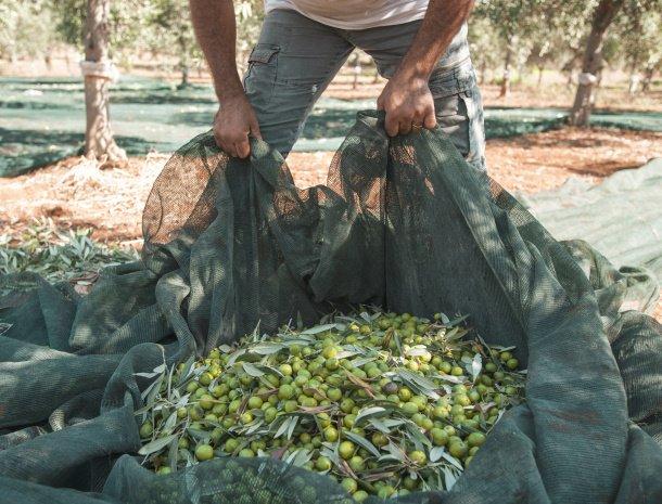 relais-casina-miregia-olijven-oogst.jpg