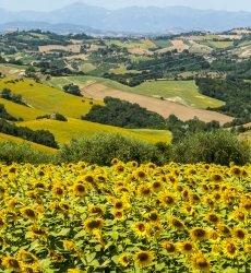 Marche-Italie-zonnebloemen-detail