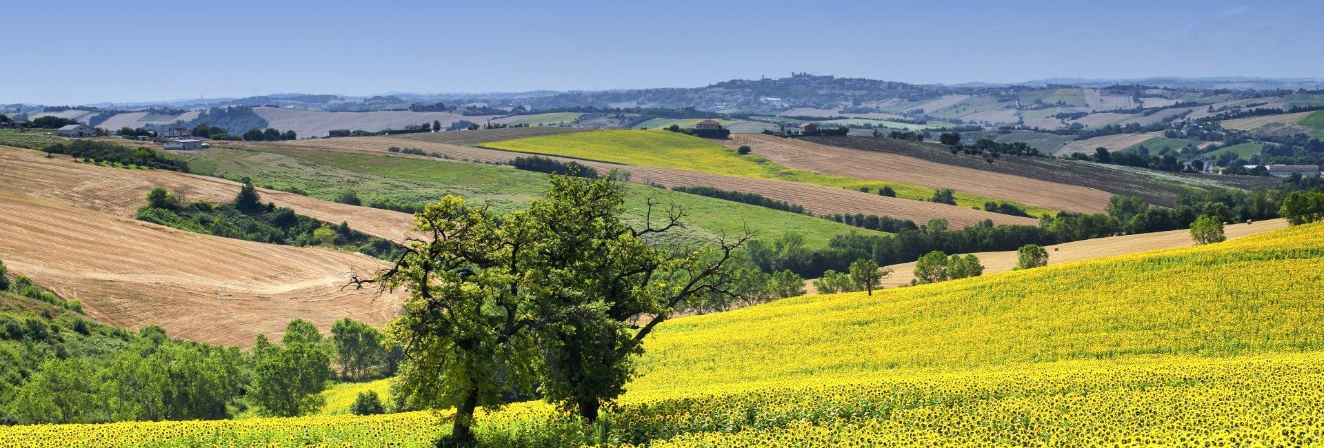 Marche-Italie-zonnebloemen